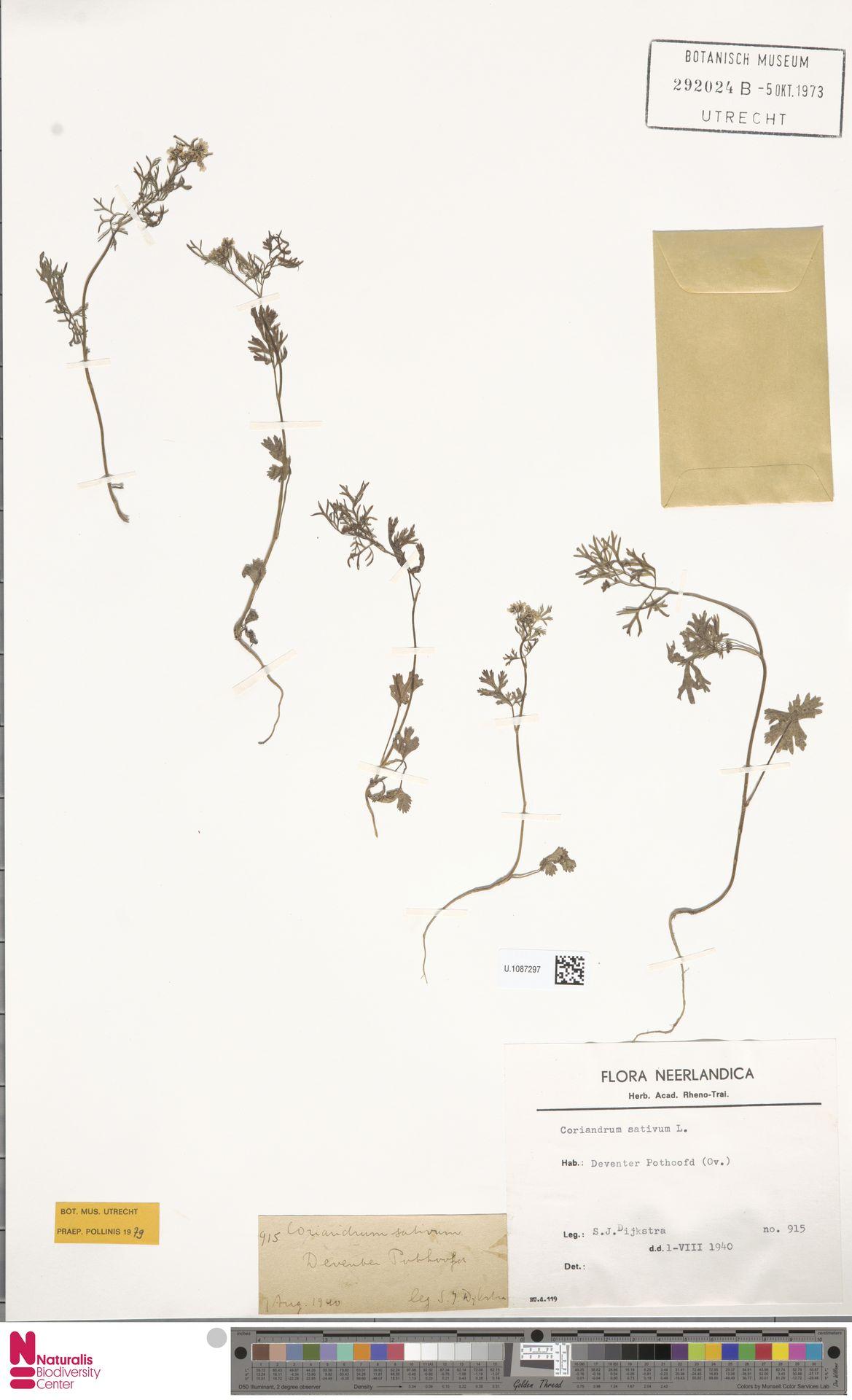 U.1087297 | Coriandrum sativum L.