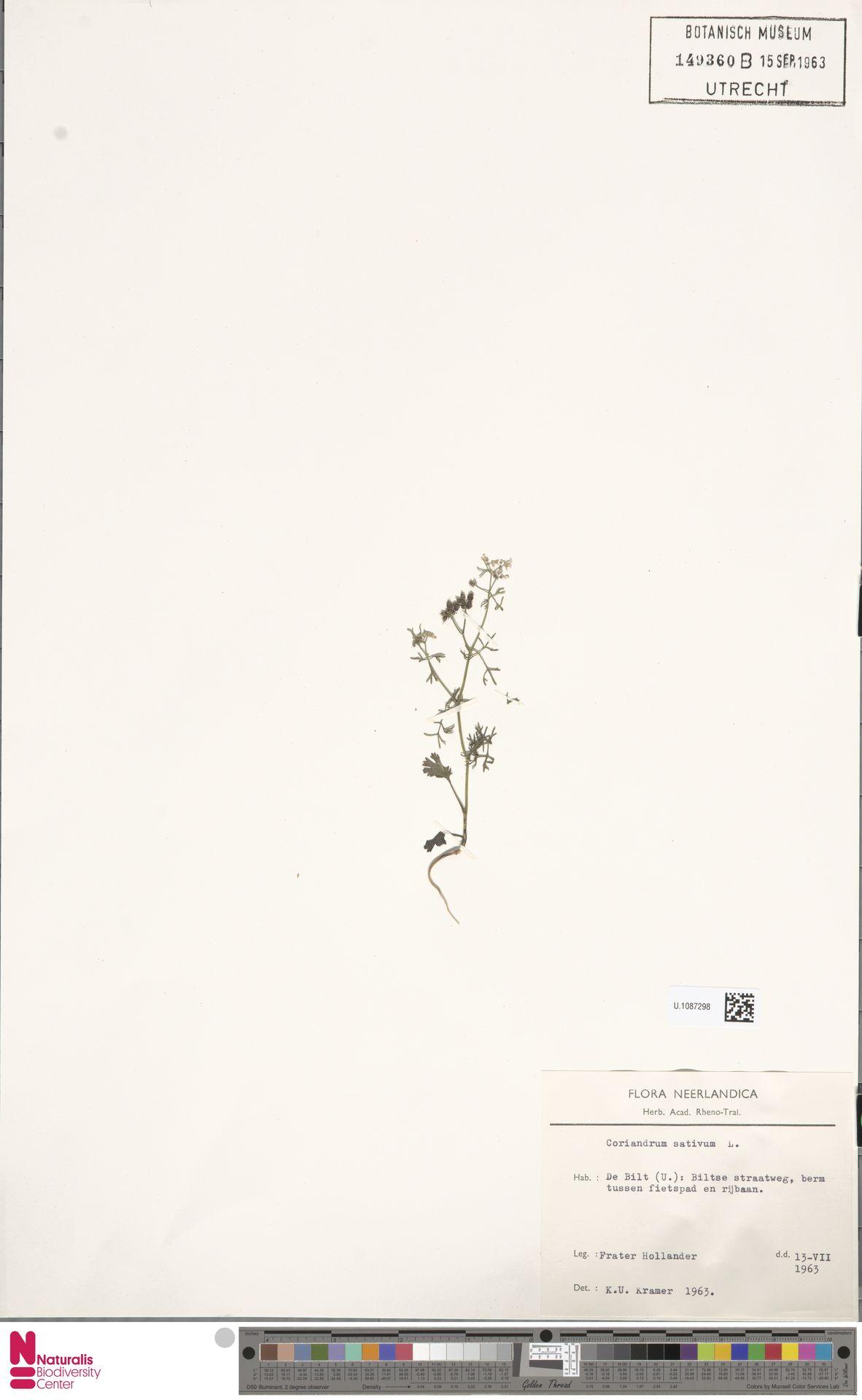 U.1087298 | Coriandrum sativum L.