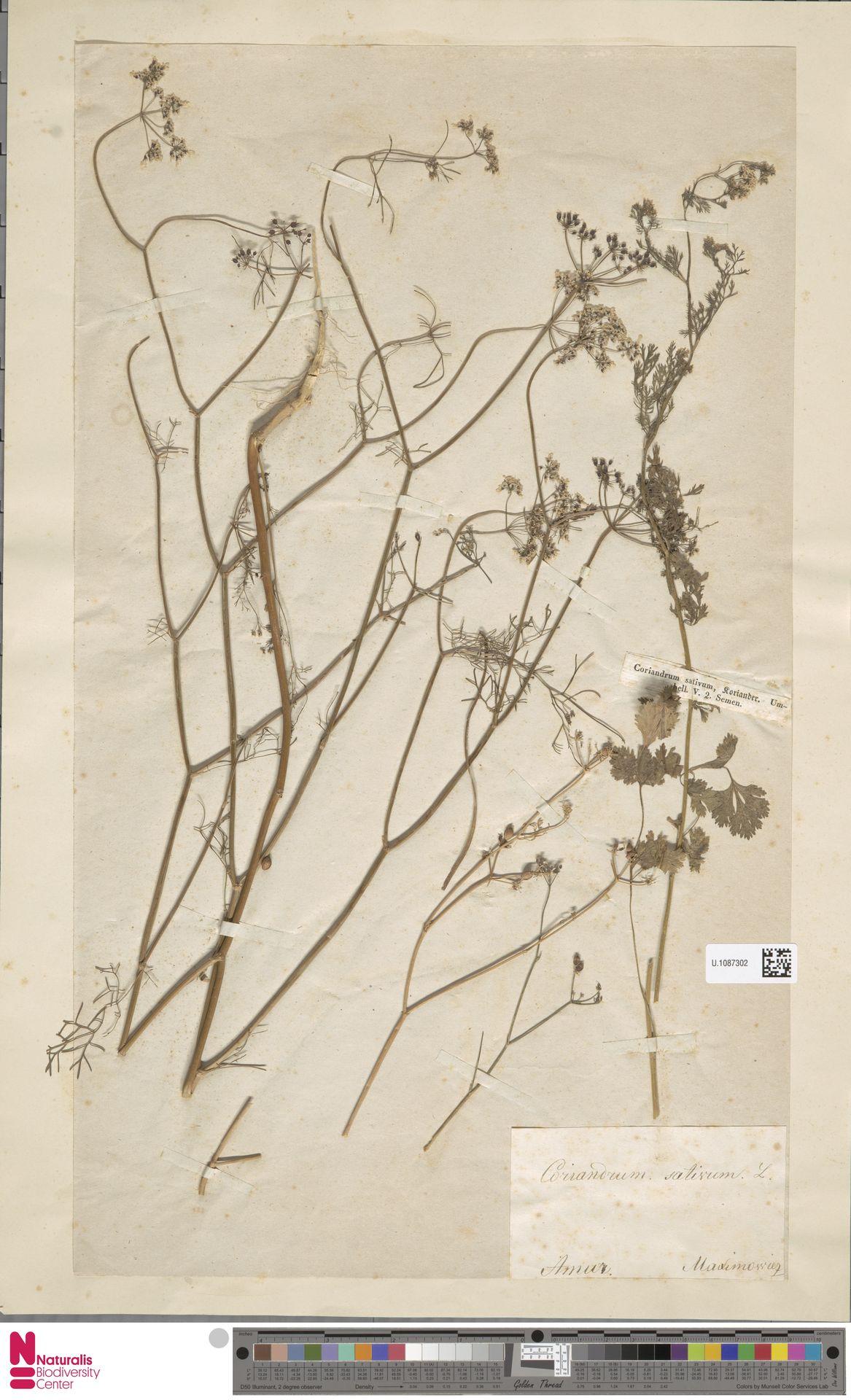 U.1087302   Coriandrum sativum L.