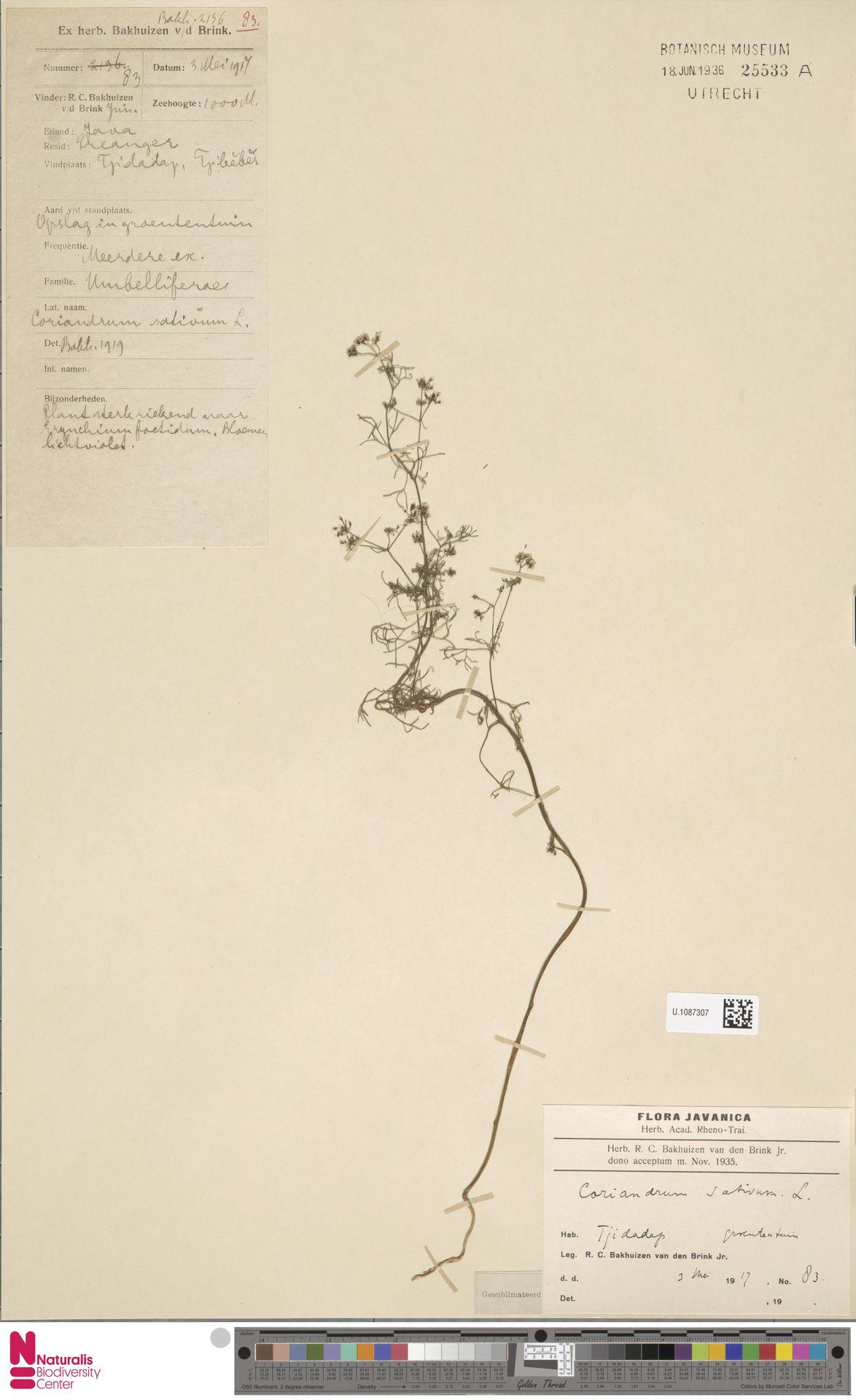 U.1087307   Coriandrum sativum L.
