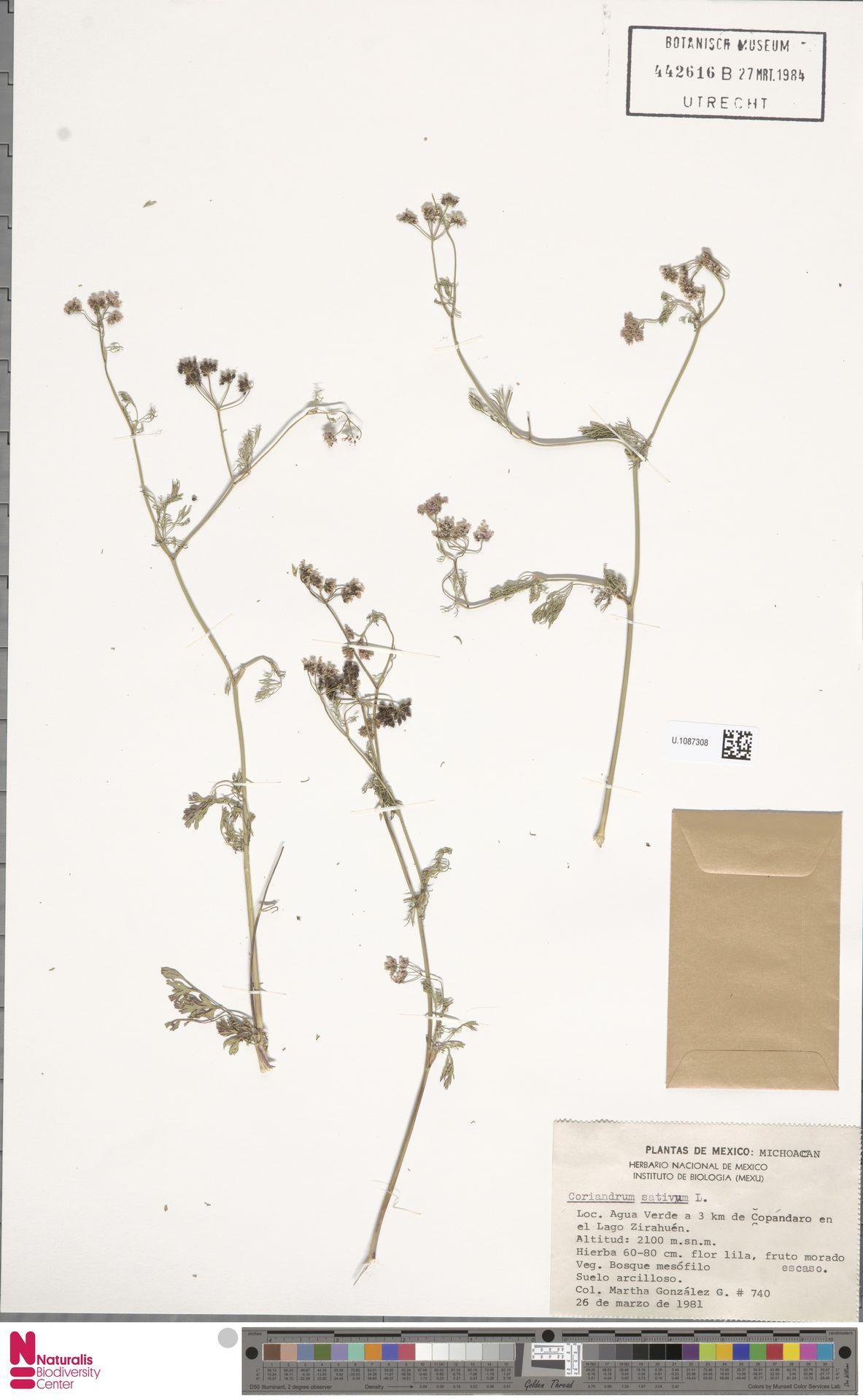 U.1087308 | Coriandrum sativum L.