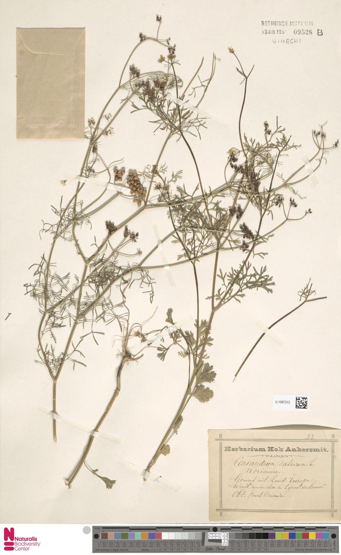 U.1087312 | Coriandrum sativum L.