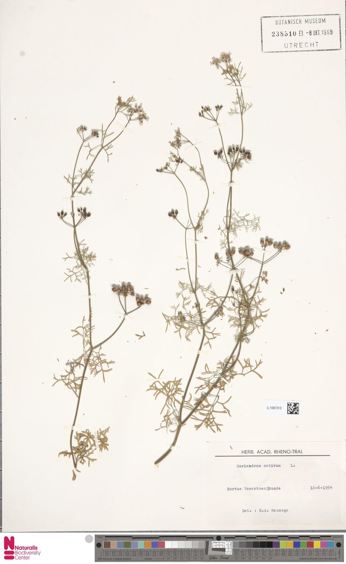 U.1087313   Coriandrum sativum L.