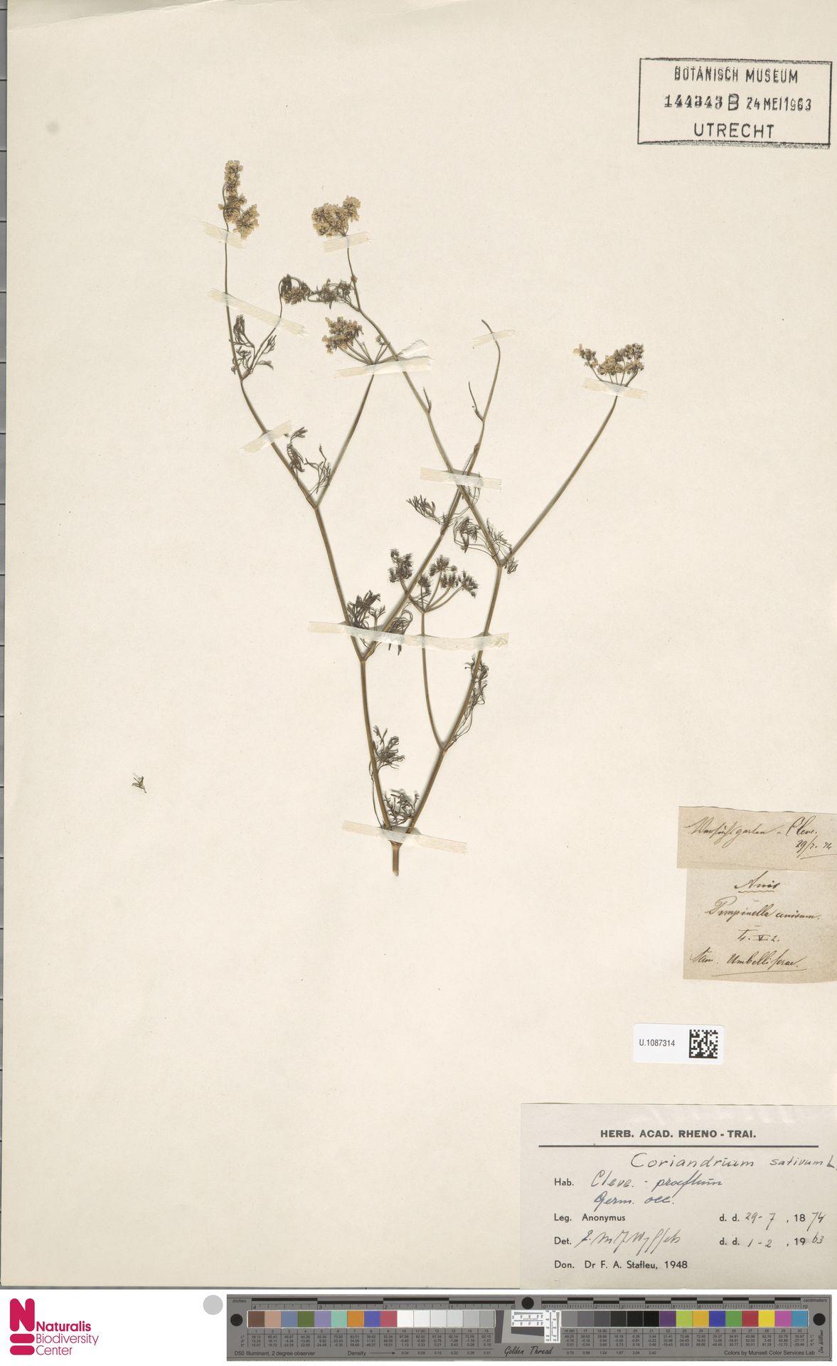 U.1087314 | Coriandrum sativum L.