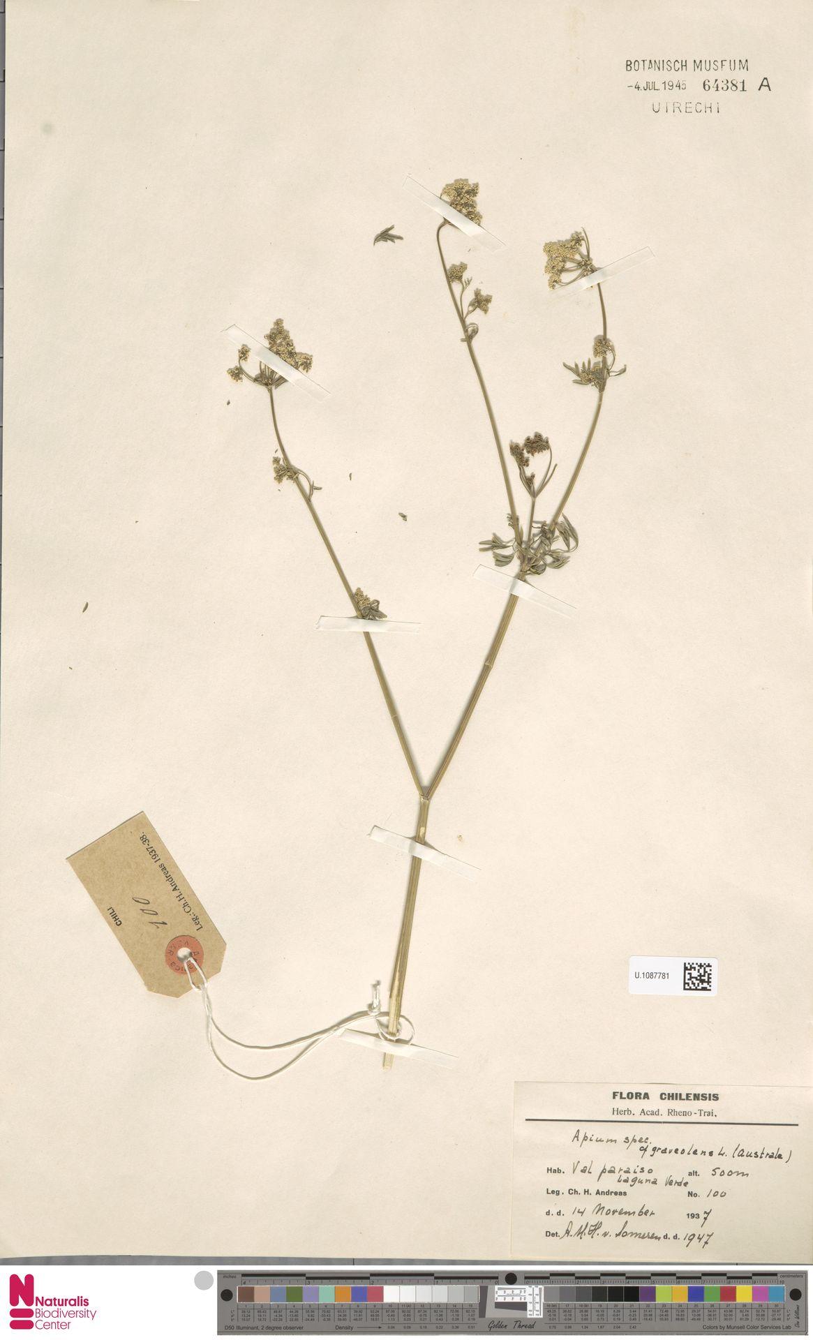 U.1087781 | Apium graveolens L.