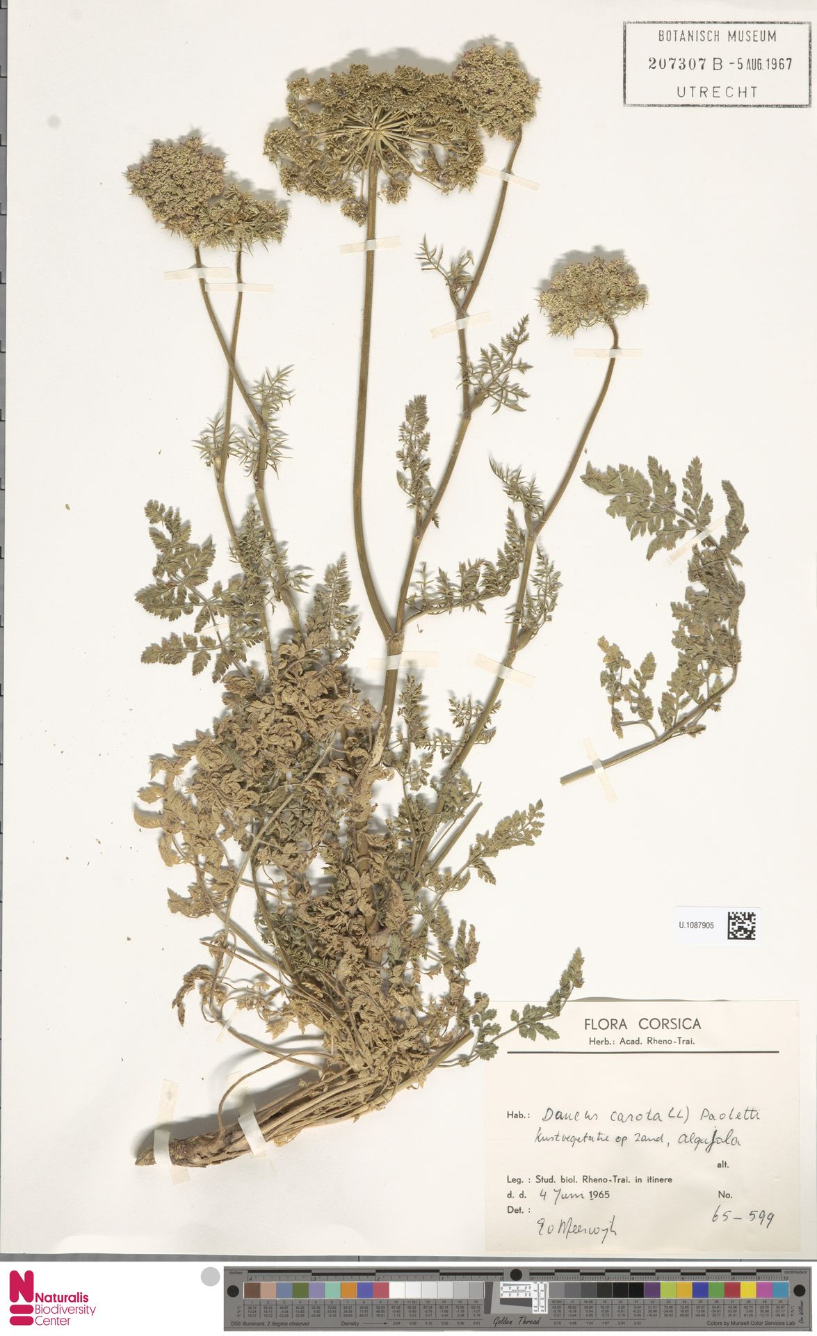 U.1087905 | Daucus carota L.