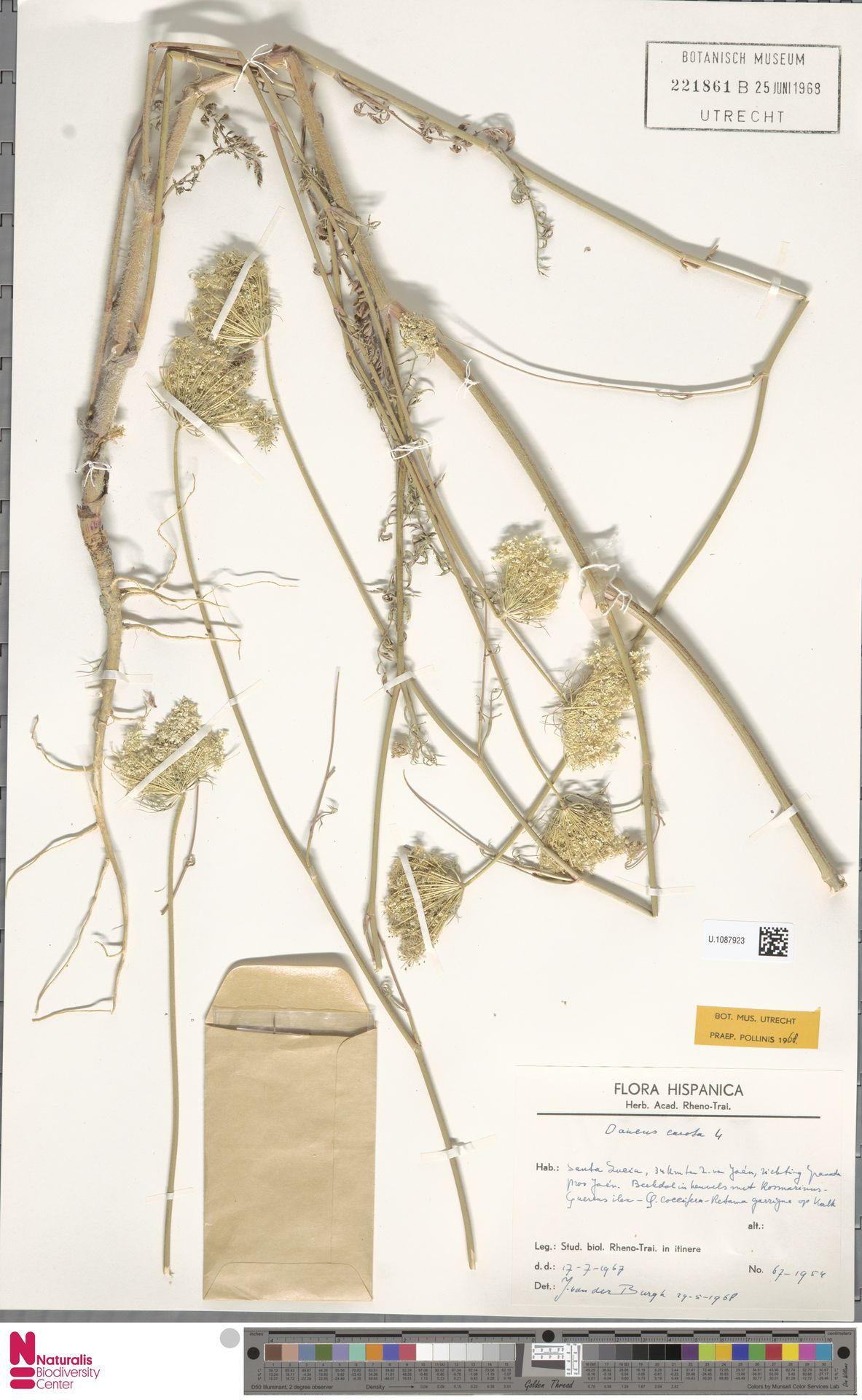 U.1087923 | Daucus carota L.