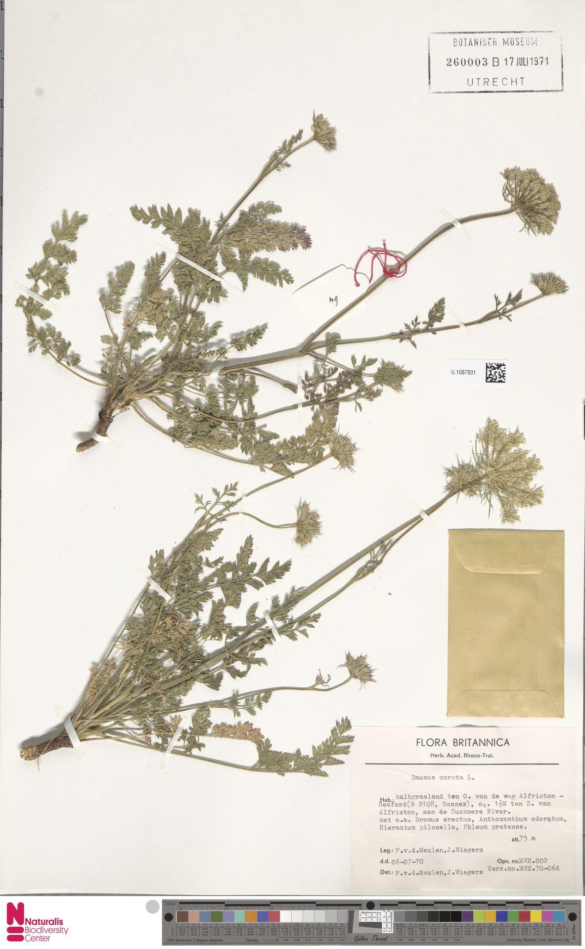 U.1087931 | Daucus carota L.