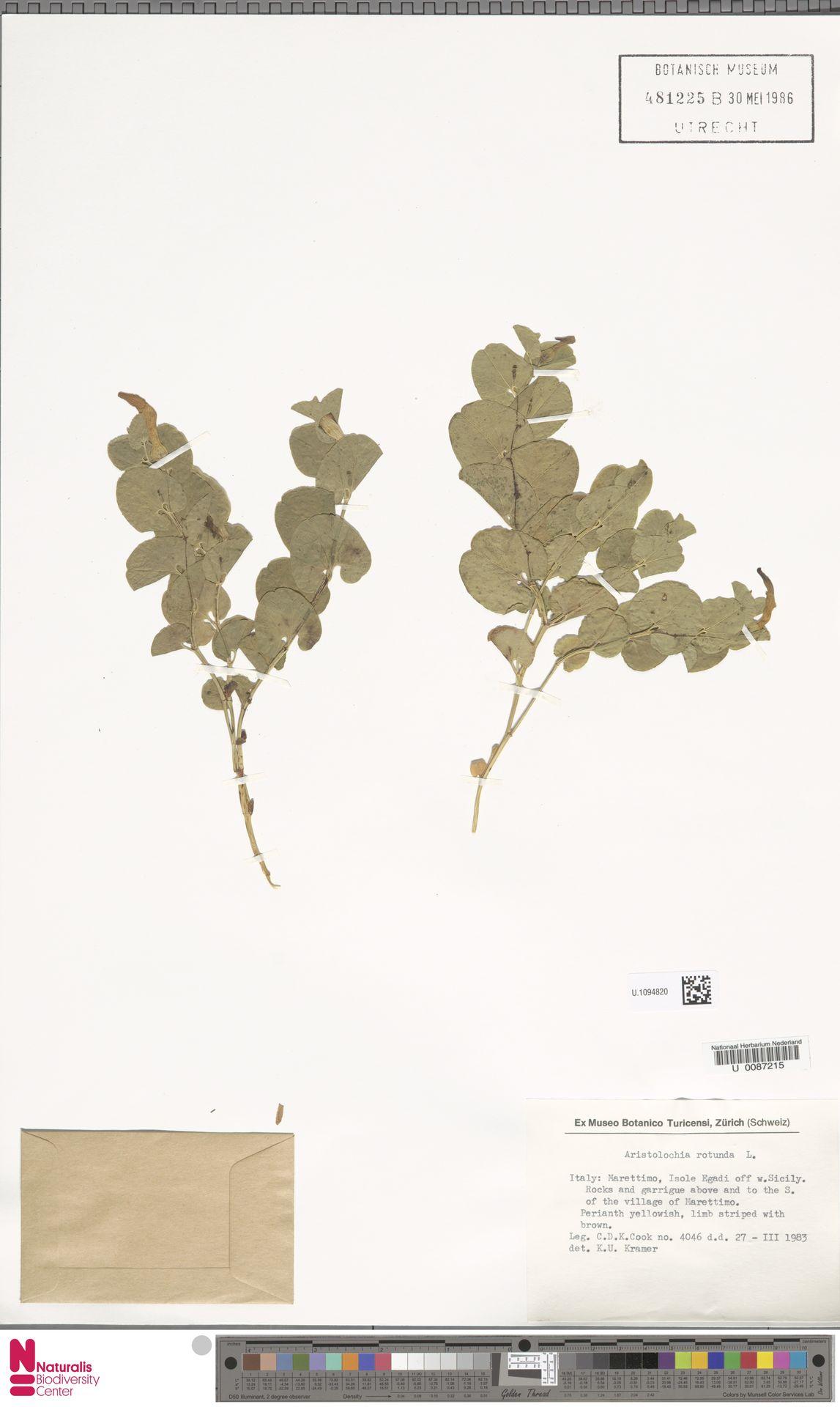 U.1094820 | Aristolochia rotunda L.
