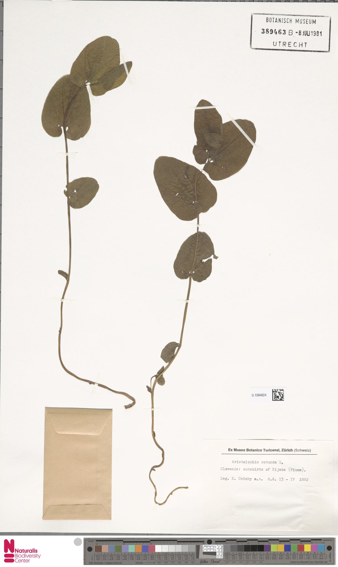 U.1094824 | Aristolochia rotunda L.