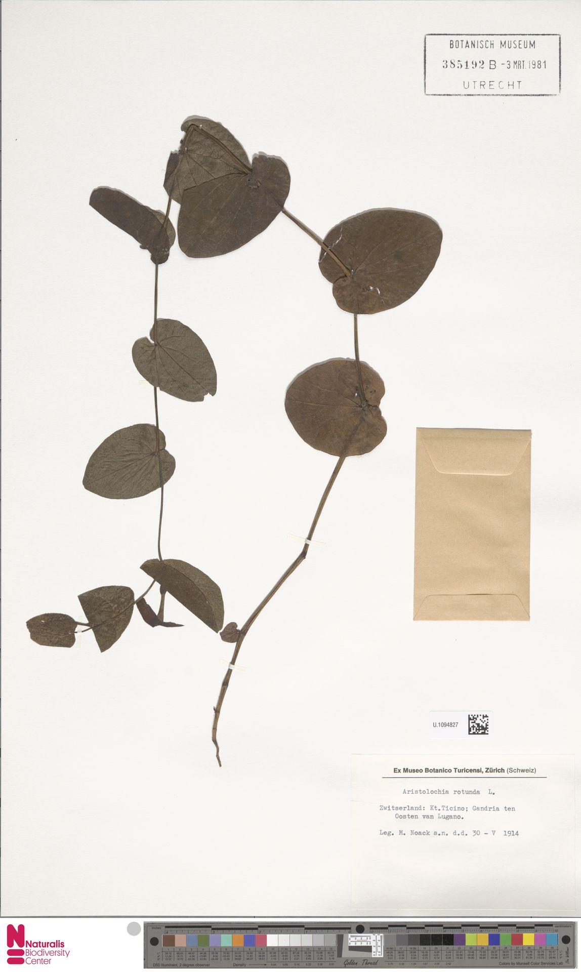 U.1094827   Aristolochia rotunda L.