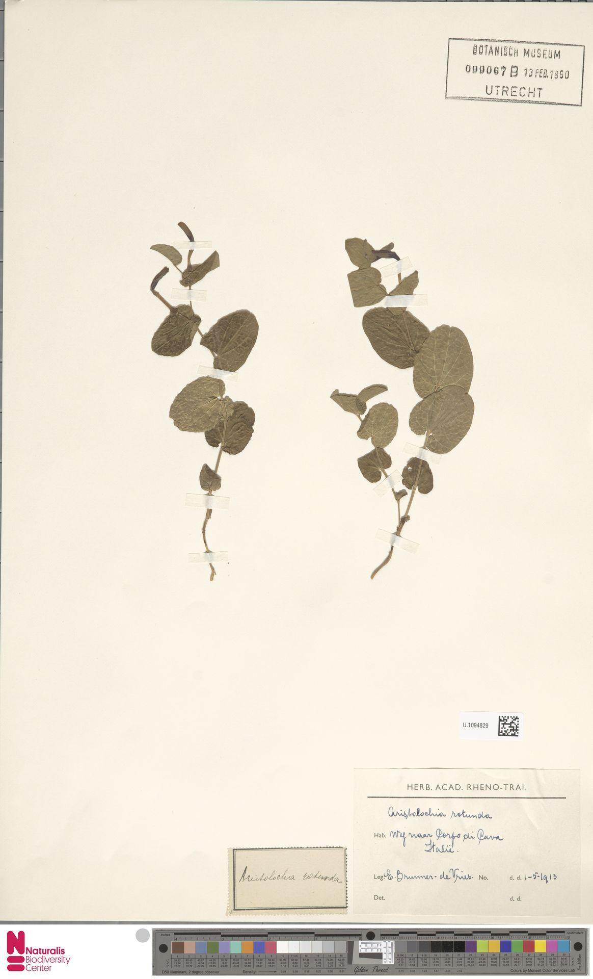 U.1094829   Aristolochia rotunda L.