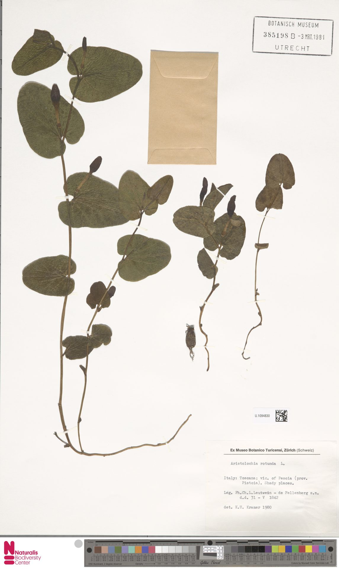 U.1094830 | Aristolochia rotunda L.