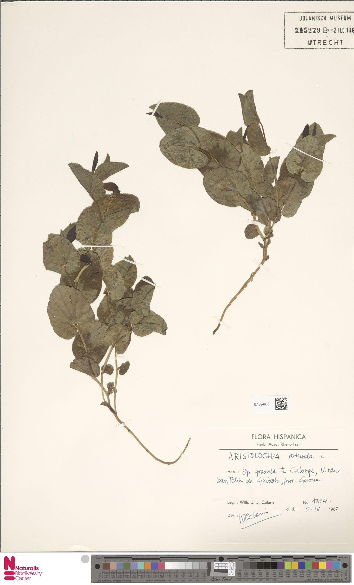 U.1094833 | Aristolochia rotunda L.