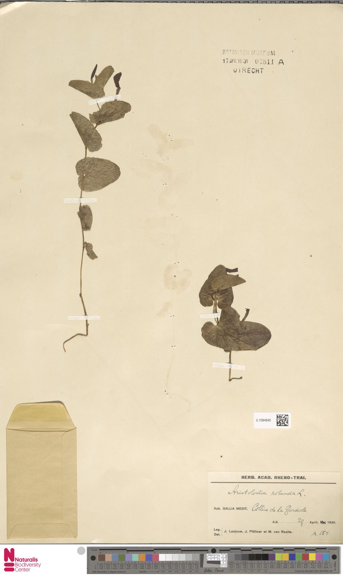 U.1094840 | Aristolochia rotunda L.