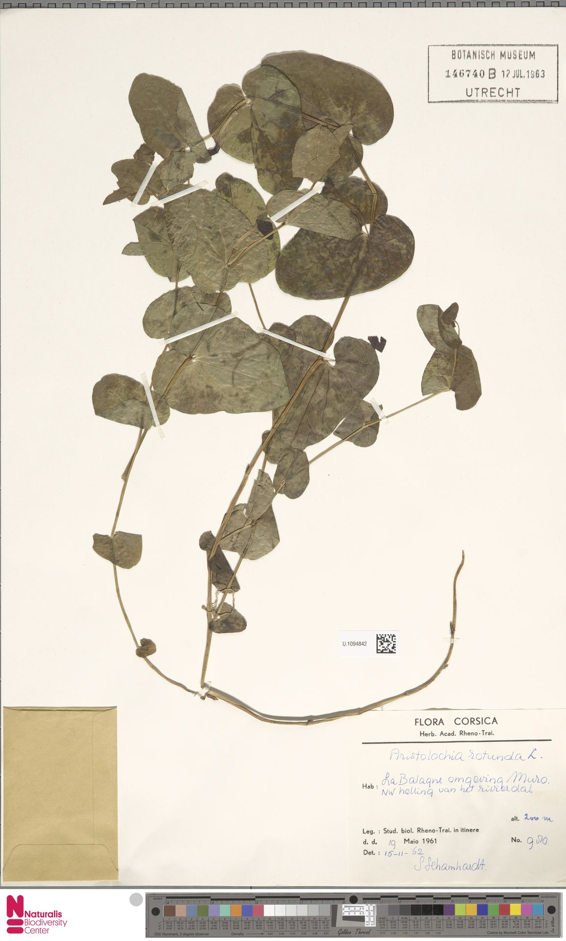 U.1094842 | Aristolochia rotunda L.
