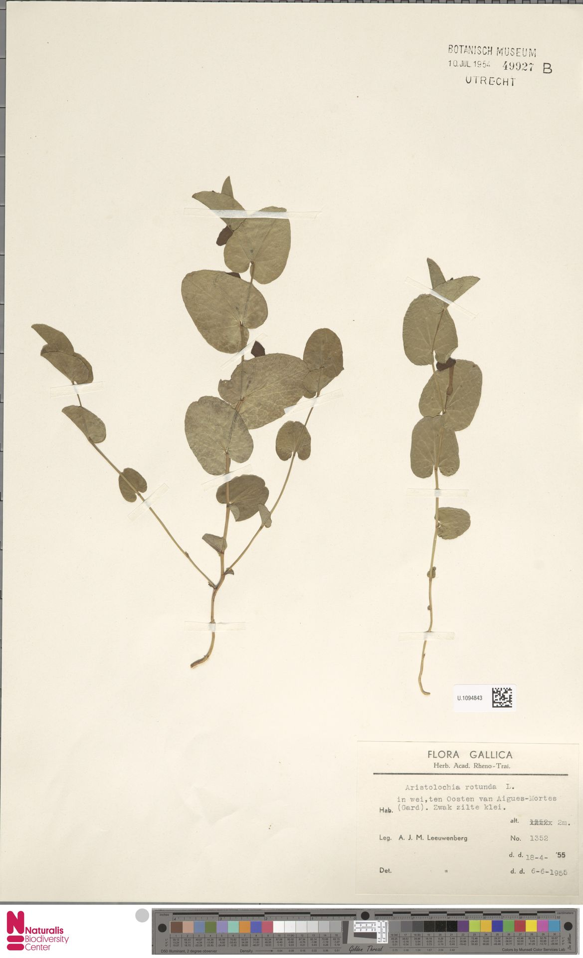 U.1094843 | Aristolochia rotunda L.