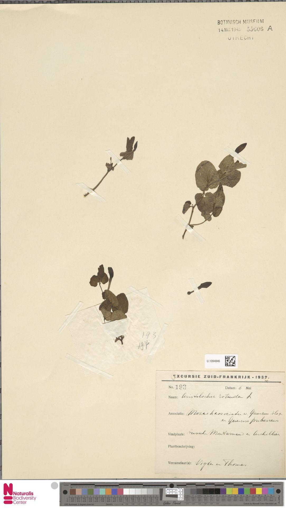 U.1094846 | Aristolochia rotunda L.