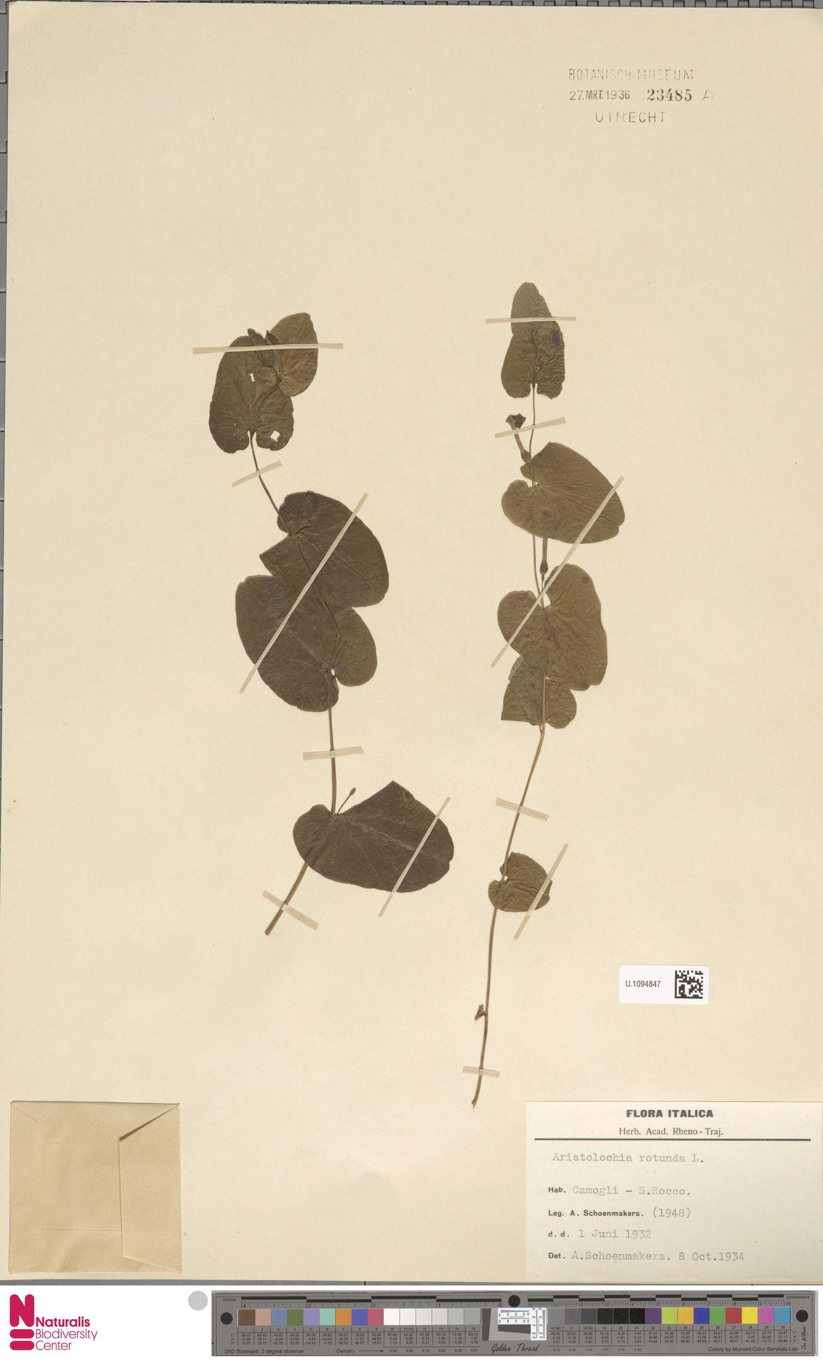 U.1094847 | Aristolochia rotunda L.