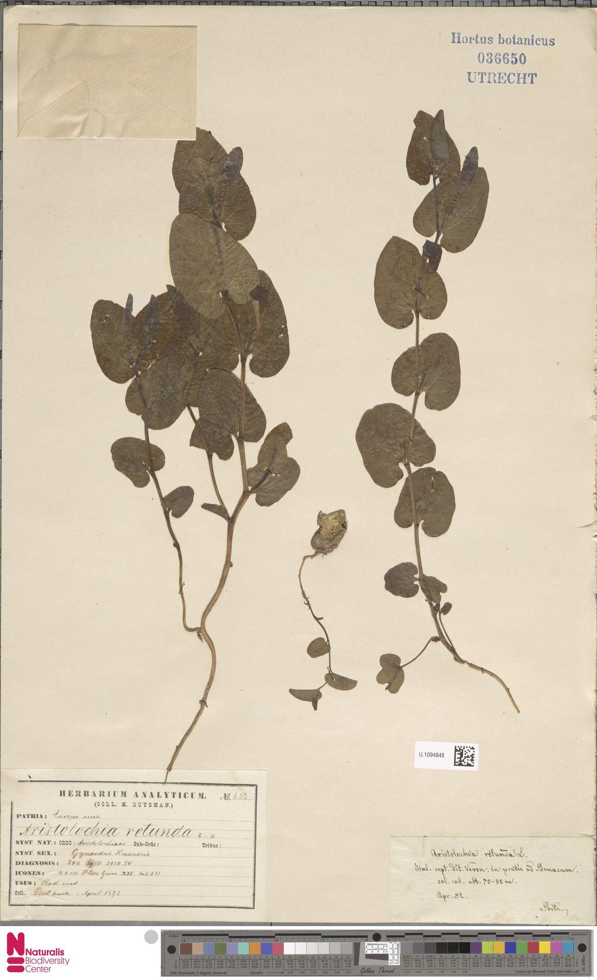 U.1094848 | Aristolochia rotunda L.