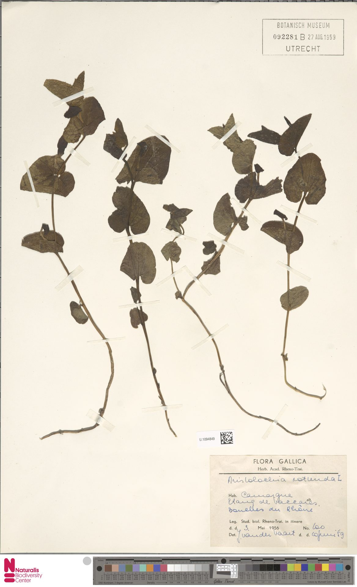 U.1094849 | Aristolochia rotunda L.