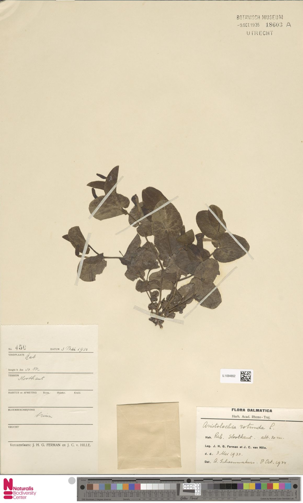 U.1094852 | Aristolochia rotunda L.