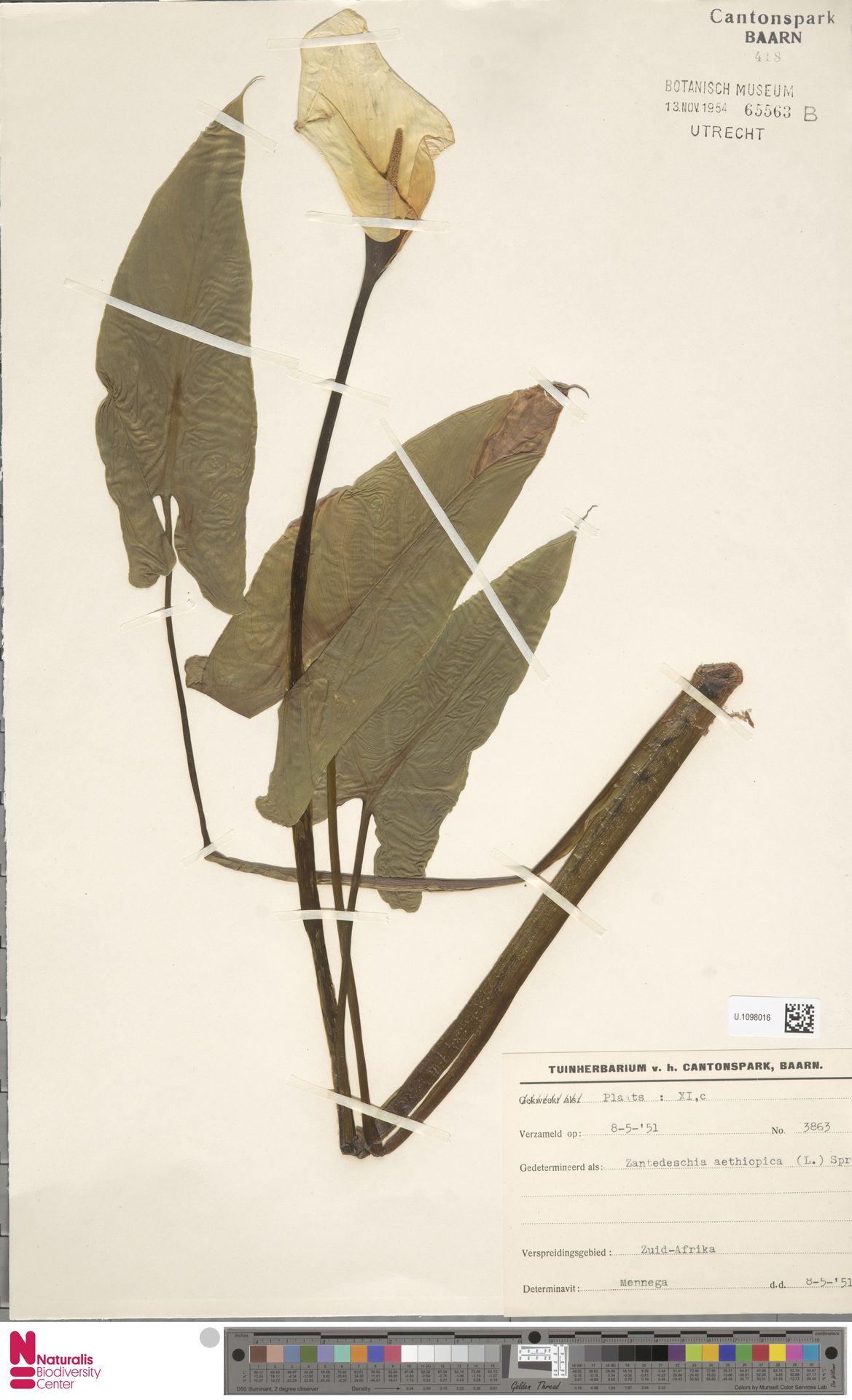 U.1098016 | Zantedeschia aethiopica (L.) Spreng.