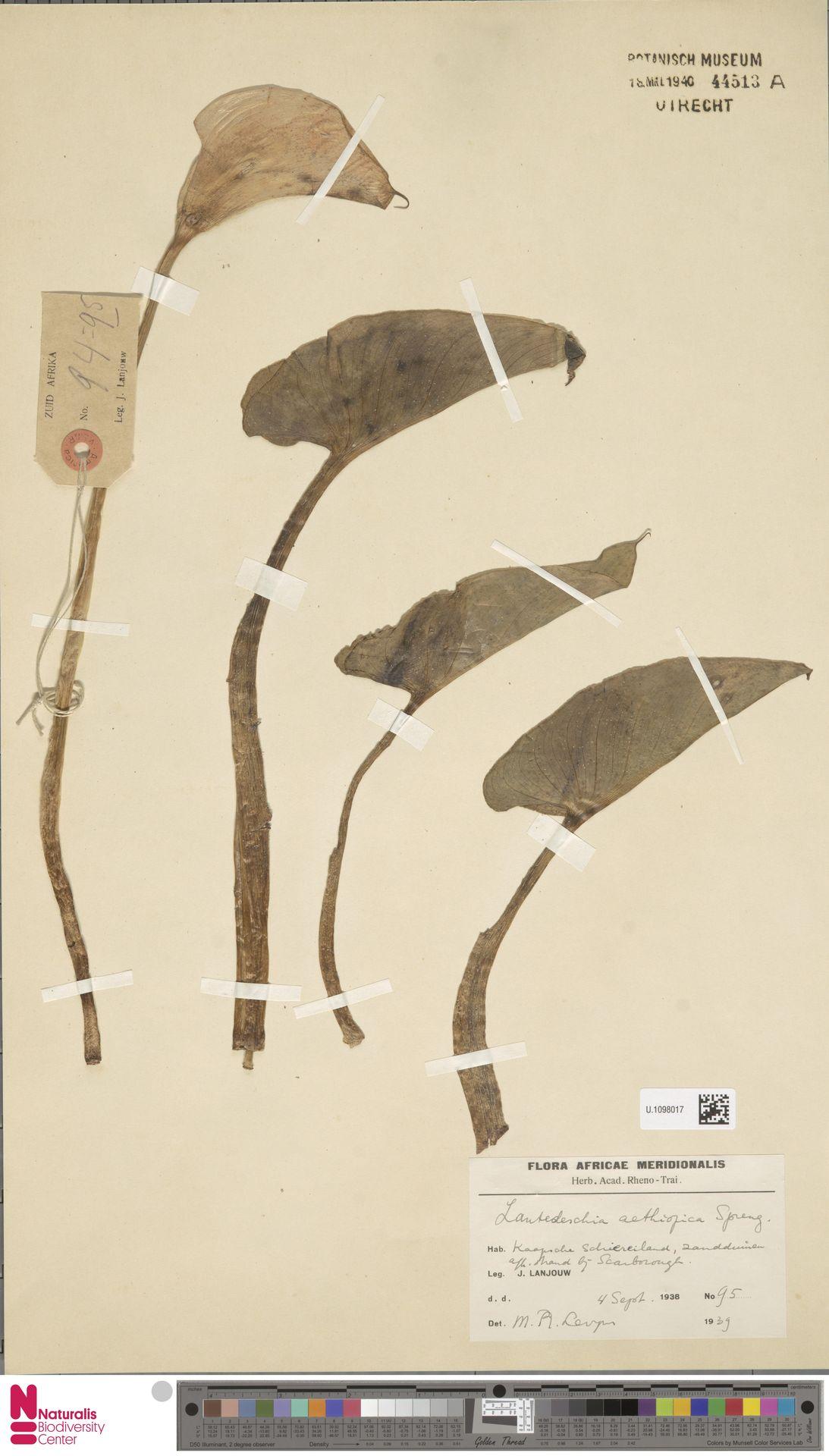 U.1098017 | Zantedeschia aethiopica (L.) Spreng.
