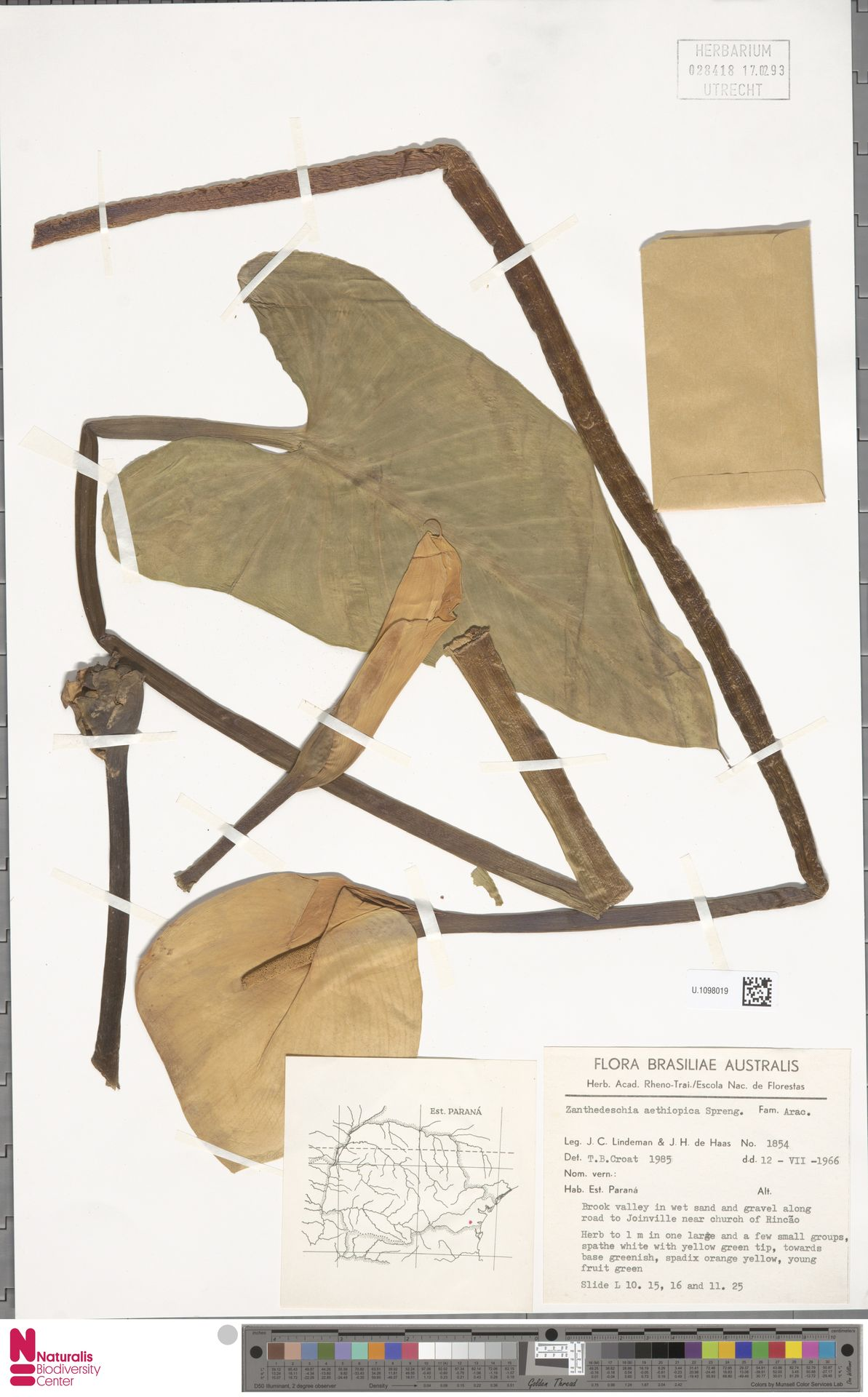 U.1098019 | Zantedeschia aethiopica (L.) Spreng.