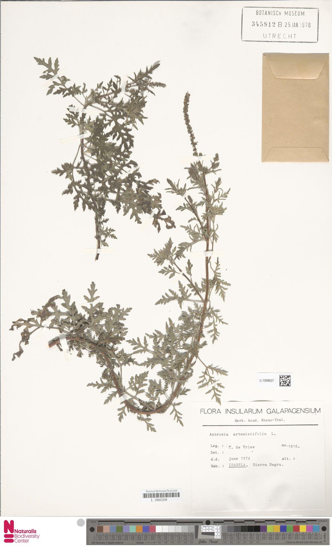 U.1098637 | Ambrosia artemisiifolia L.