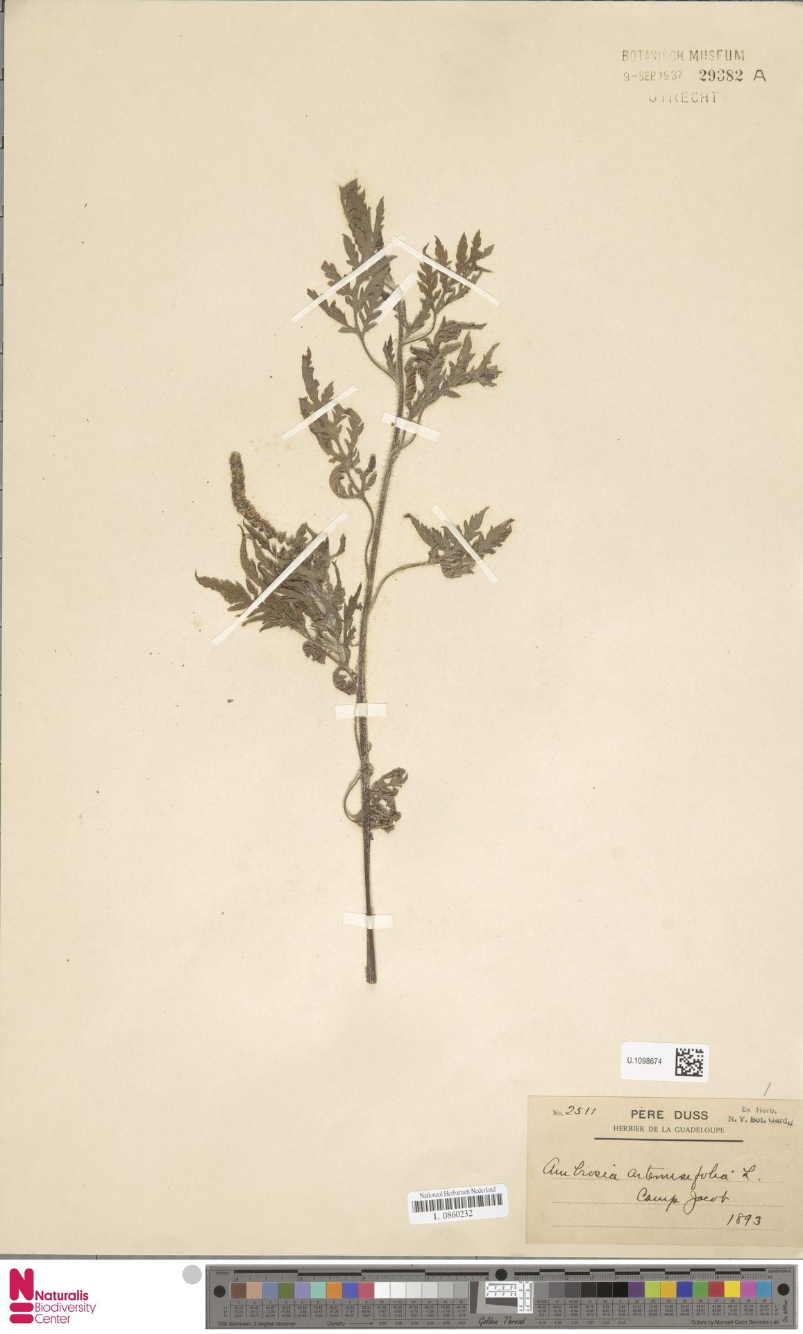 U.1098674 | Ambrosia artemisiifolia L.