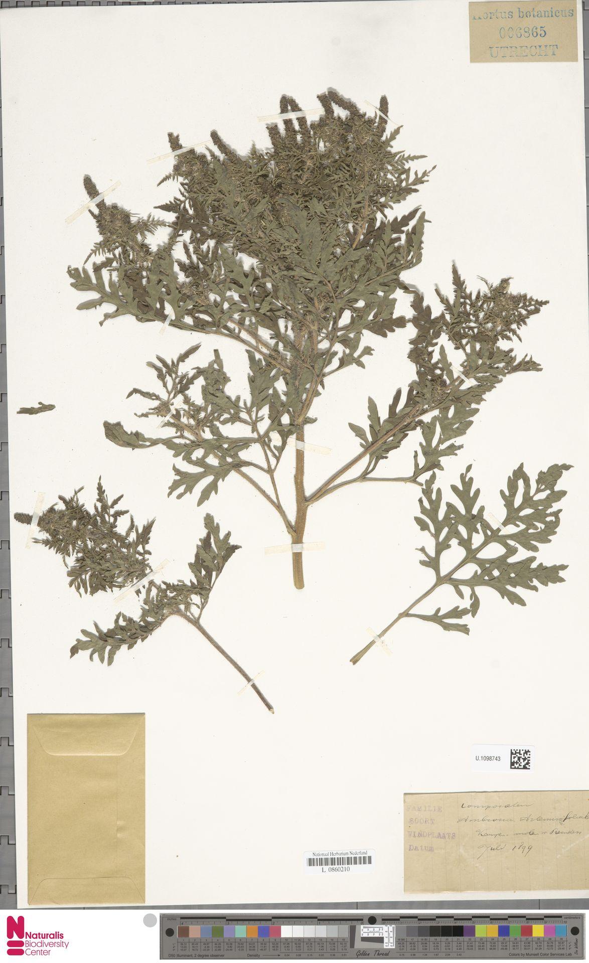 U.1098743   Ambrosia artemisiifolia L.