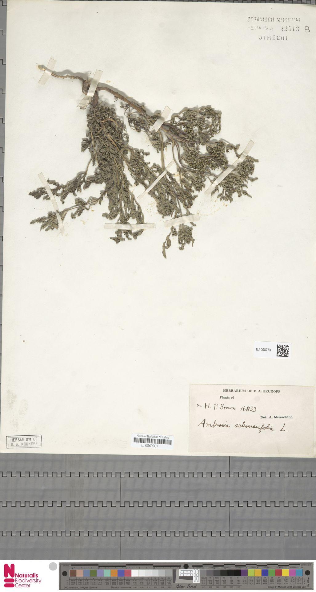 U.1098773 | Ambrosia artemisiifolia L.
