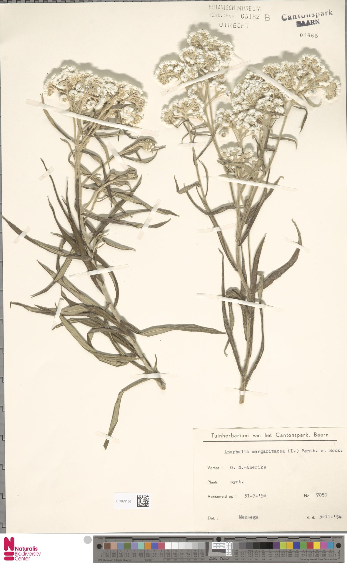 U.1099188 | Anaphalis margaritacea (L.) Benth. & Hook.f.
