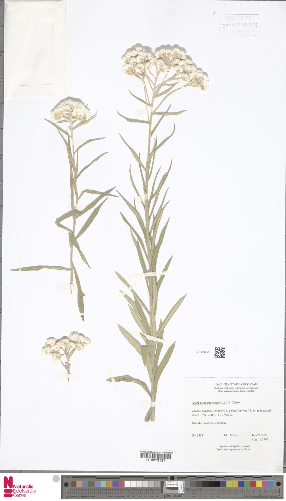 U.1099253 | Anaphalis margaritacea (L.) Benth. & Hook.f.