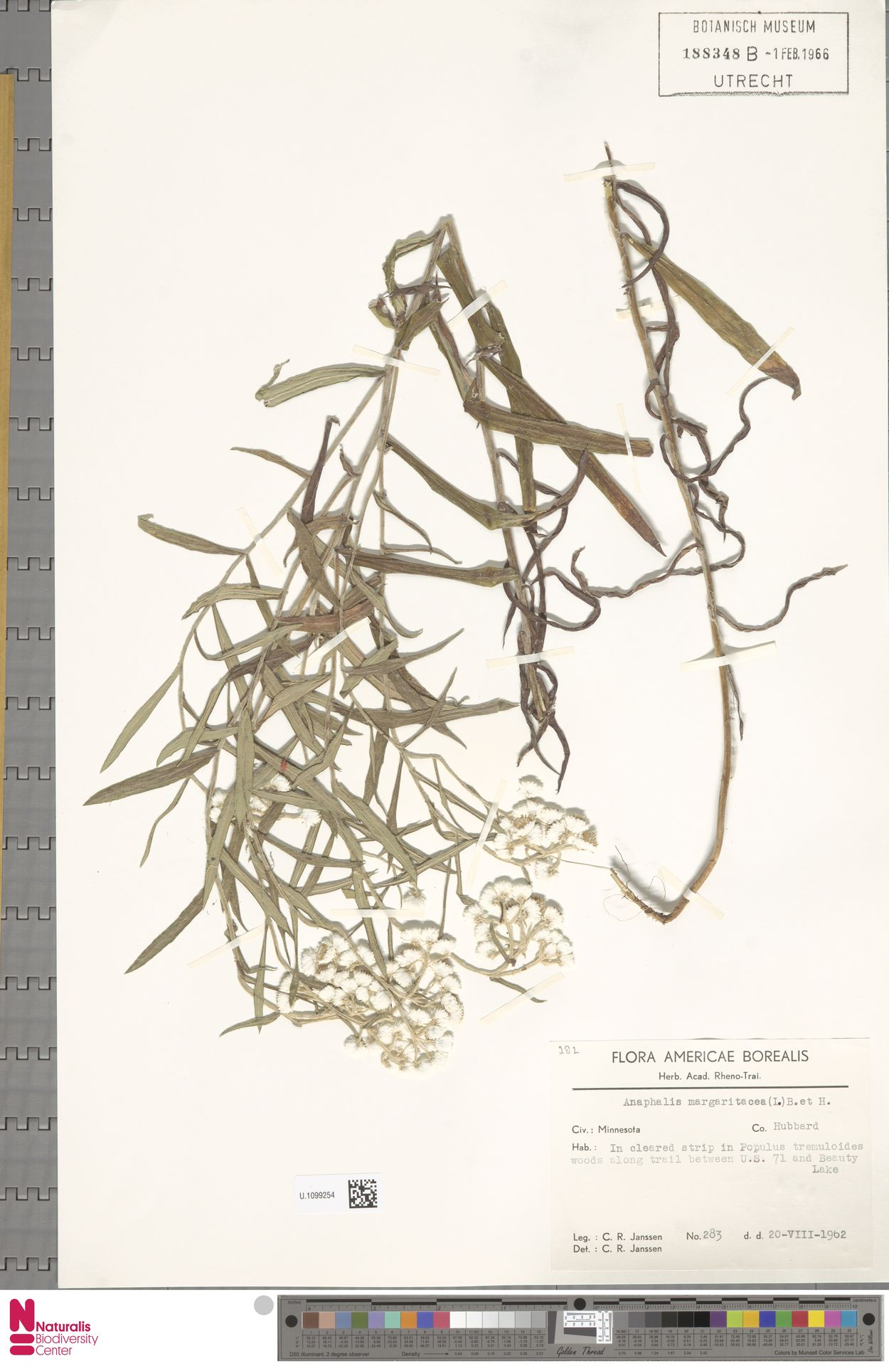 U.1099254 | Anaphalis margaritacea (L.) Benth. & Hook.f.