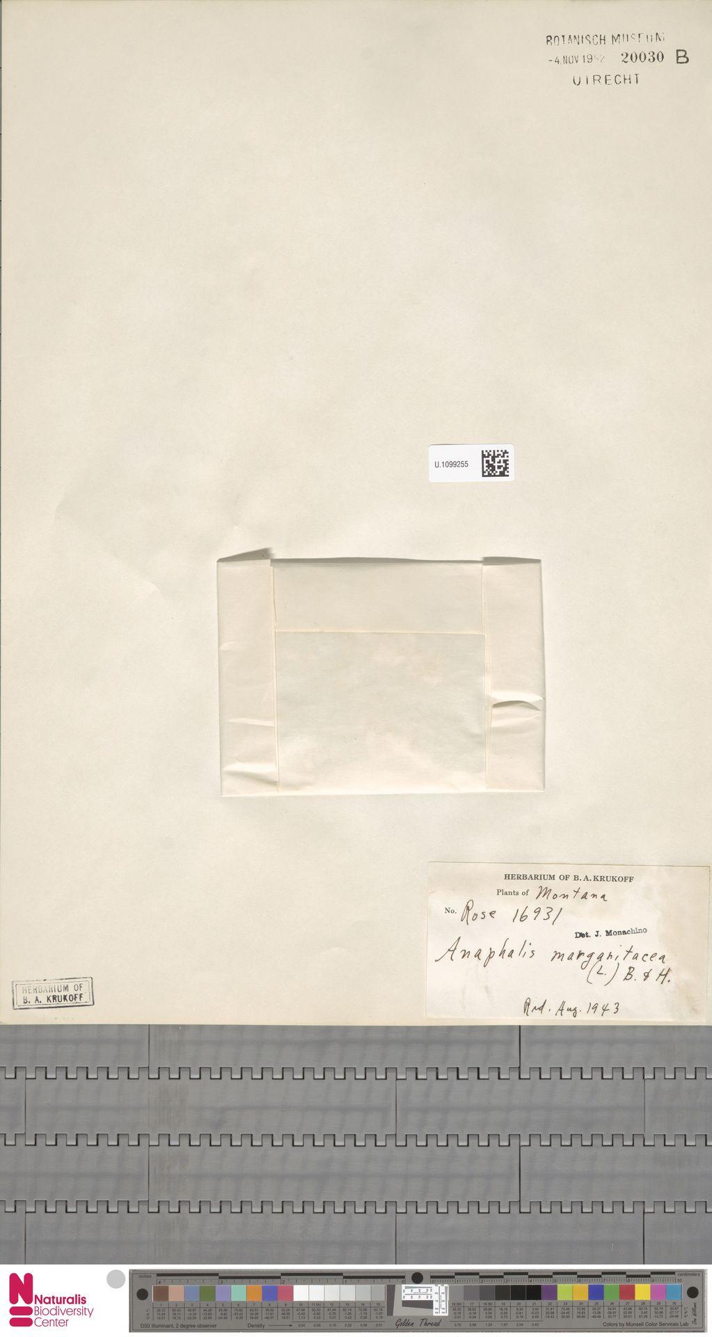 U.1099255 | Anaphalis margaritacea (L.) Benth. & Hook.f.