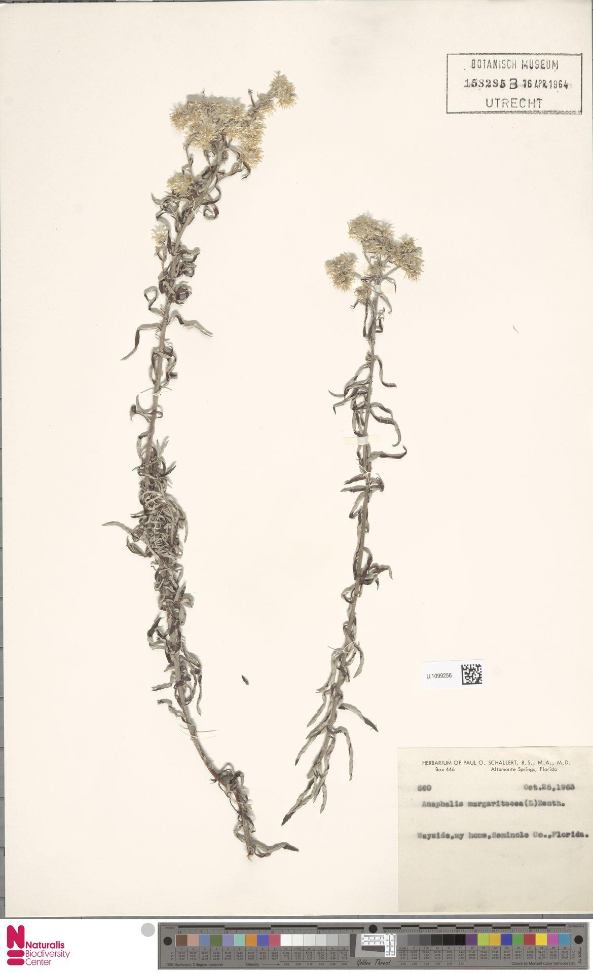 U.1099256 | Anaphalis margaritacea (L.) Benth. & Hook.f.