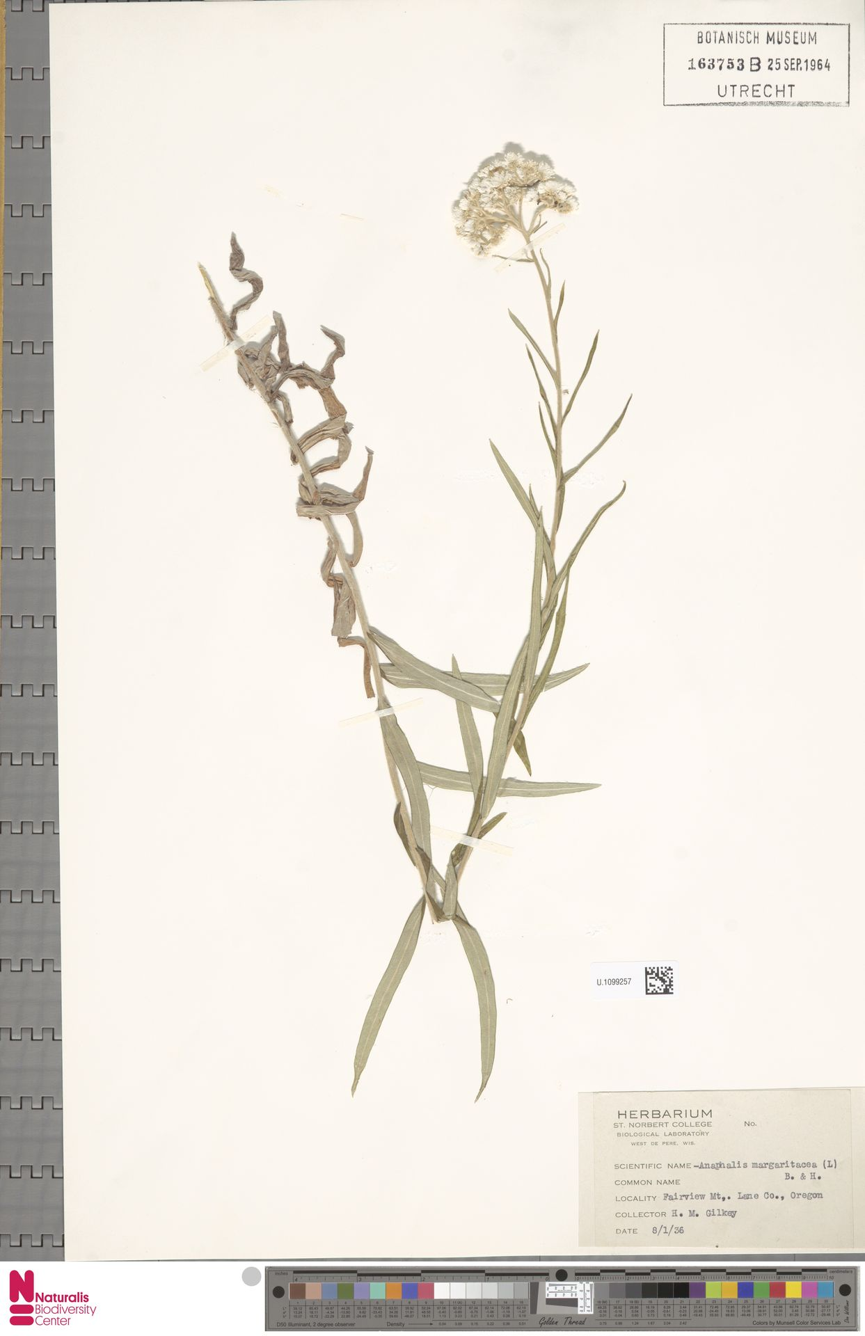 U.1099257 | Anaphalis margaritacea (L.) Benth. & Hook.f.