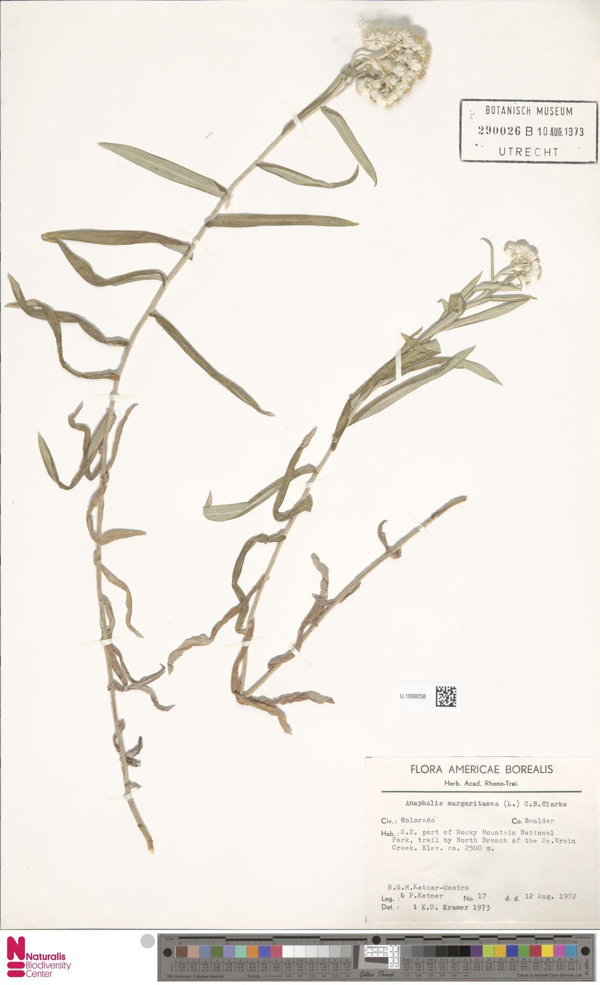 U.1099258 | Anaphalis margaritacea (L.) Benth. & Hook.f.