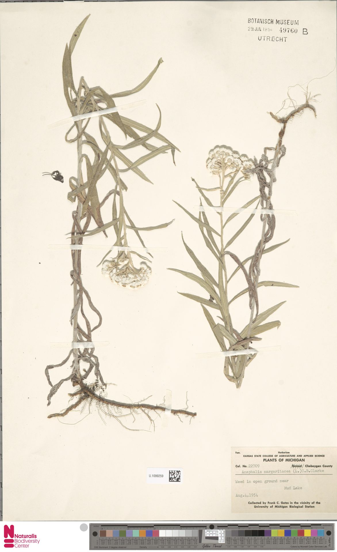 U.1099259 | Anaphalis margaritacea (L.) Benth. & Hook.f.