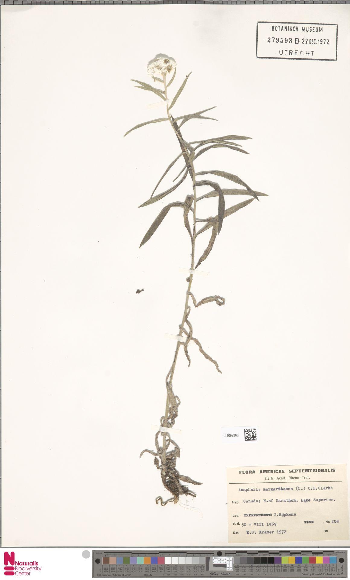 U.1099260 | Anaphalis margaritacea (L.) Benth. & Hook.f.