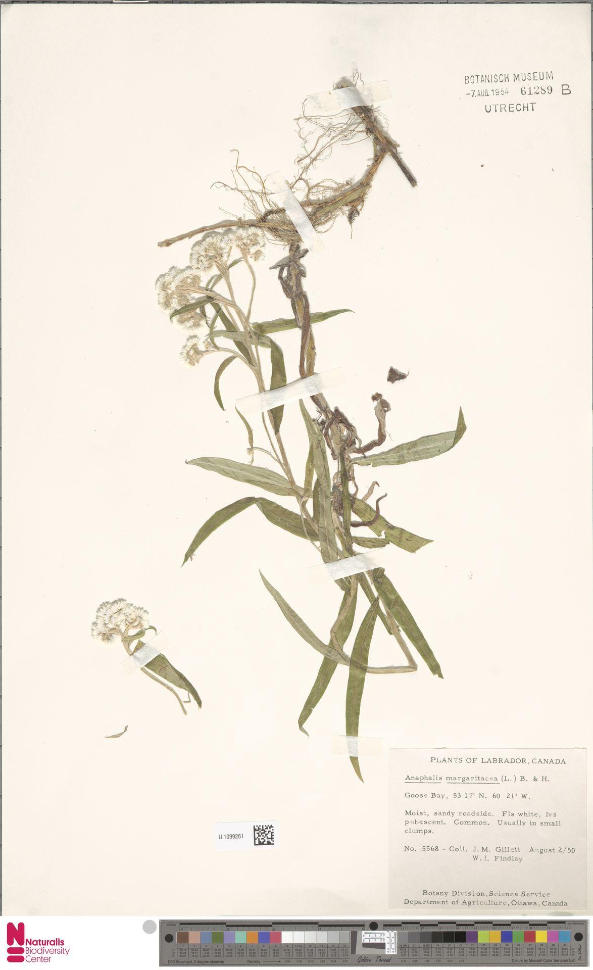 U.1099261 | Anaphalis margaritacea (L.) Benth. & Hook.f.