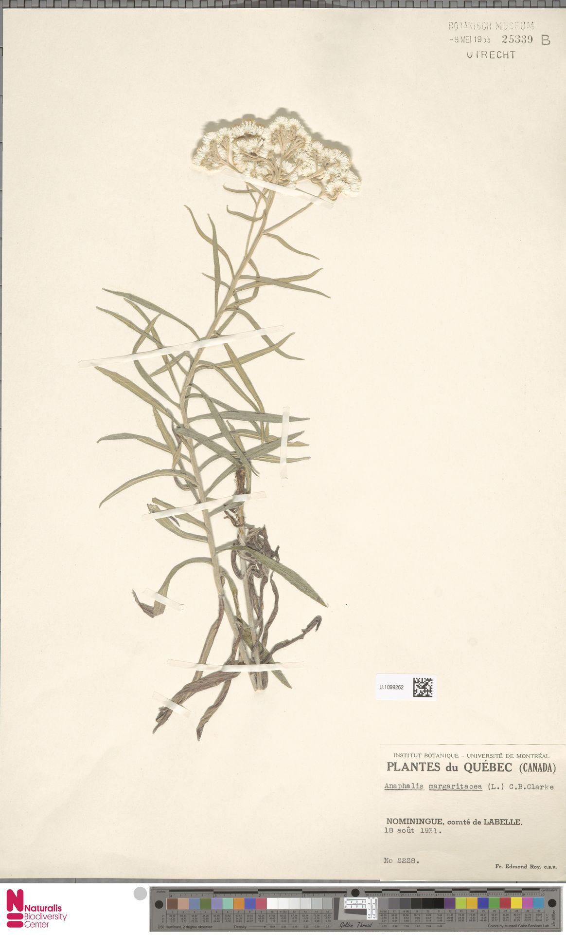 U.1099262 | Anaphalis margaritacea (L.) Benth. & Hook.f.