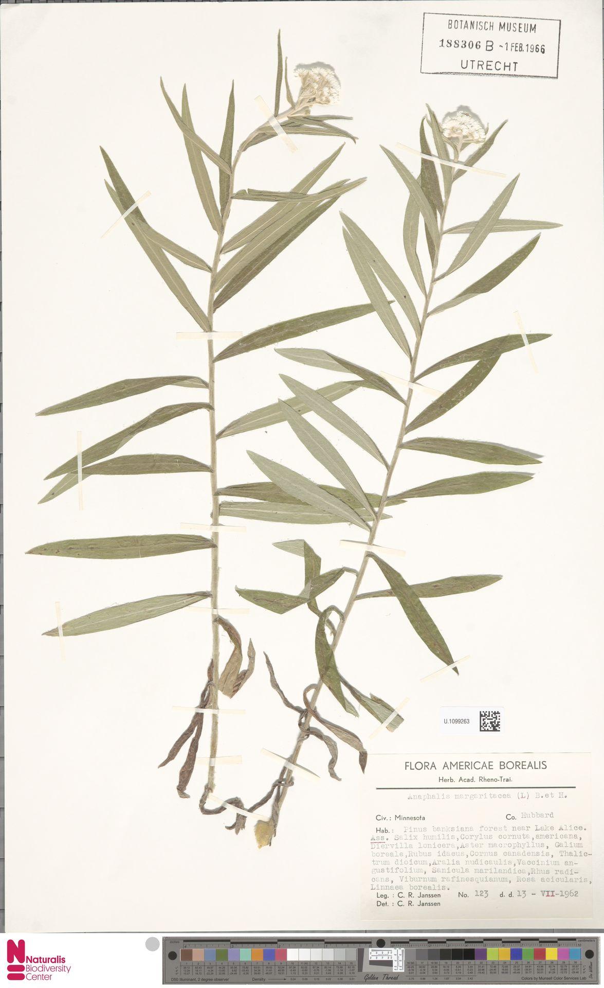 U.1099263 | Anaphalis margaritacea (L.) Benth. & Hook.f.