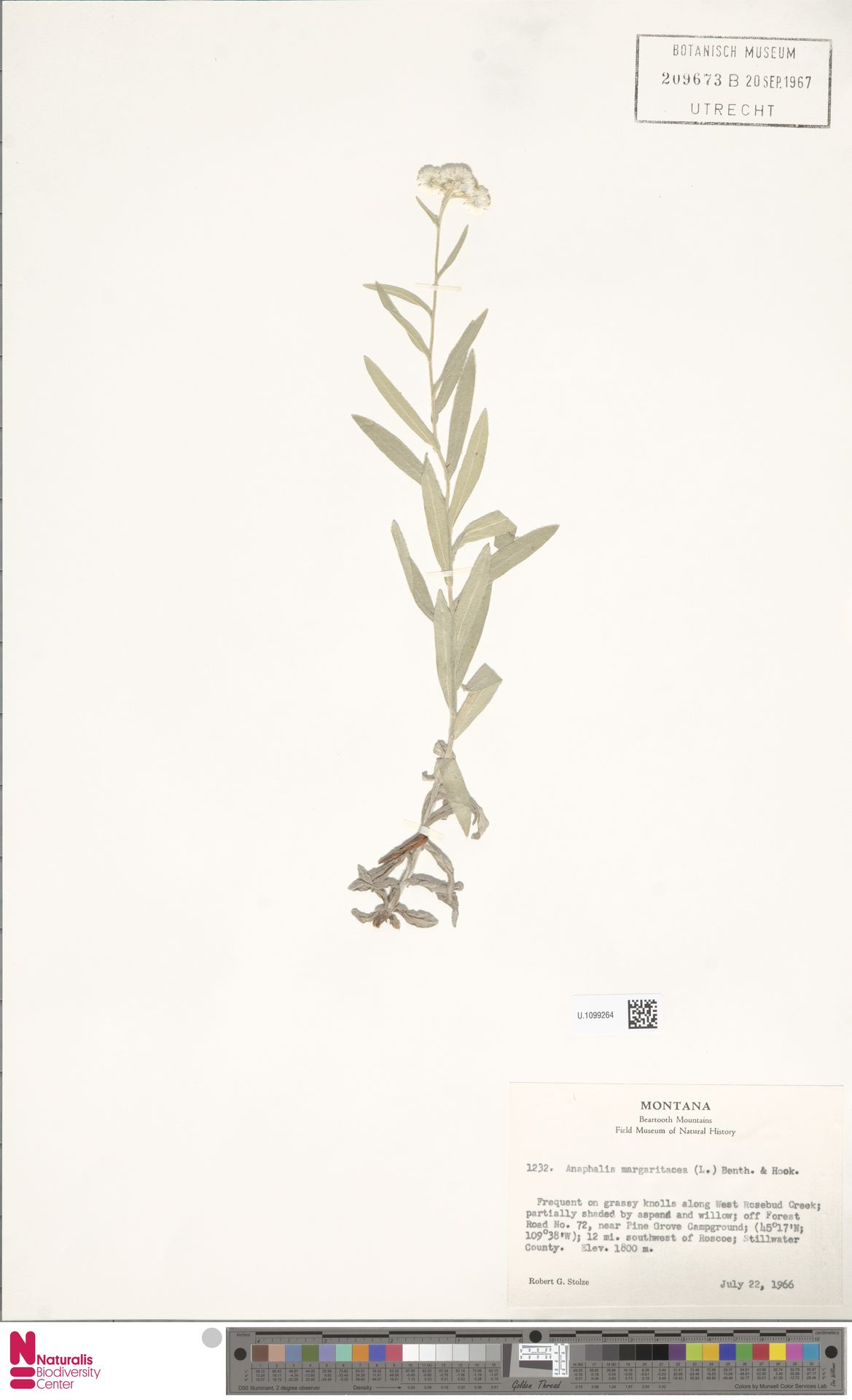 U.1099264   Anaphalis margaritacea (L.) Benth. & Hook.f.