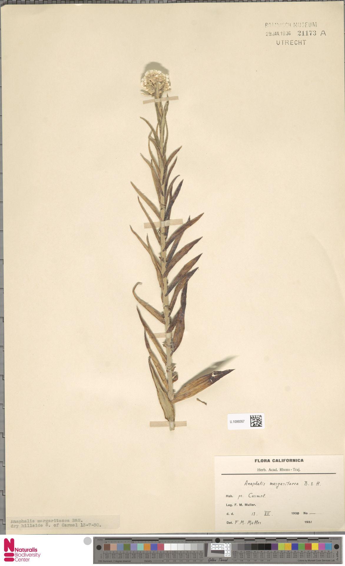 U.1099267 | Anaphalis margaritacea (L.) Benth. & Hook.f.