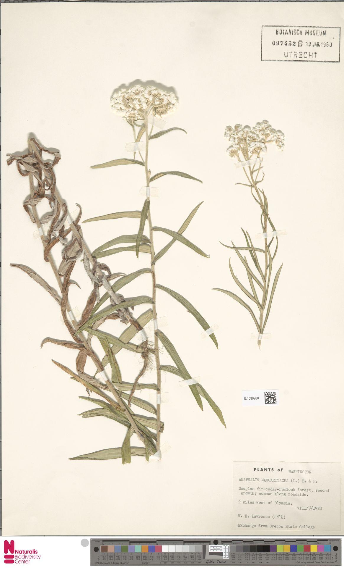 U.1099268 | Anaphalis margaritacea (L.) Benth. & Hook.f.
