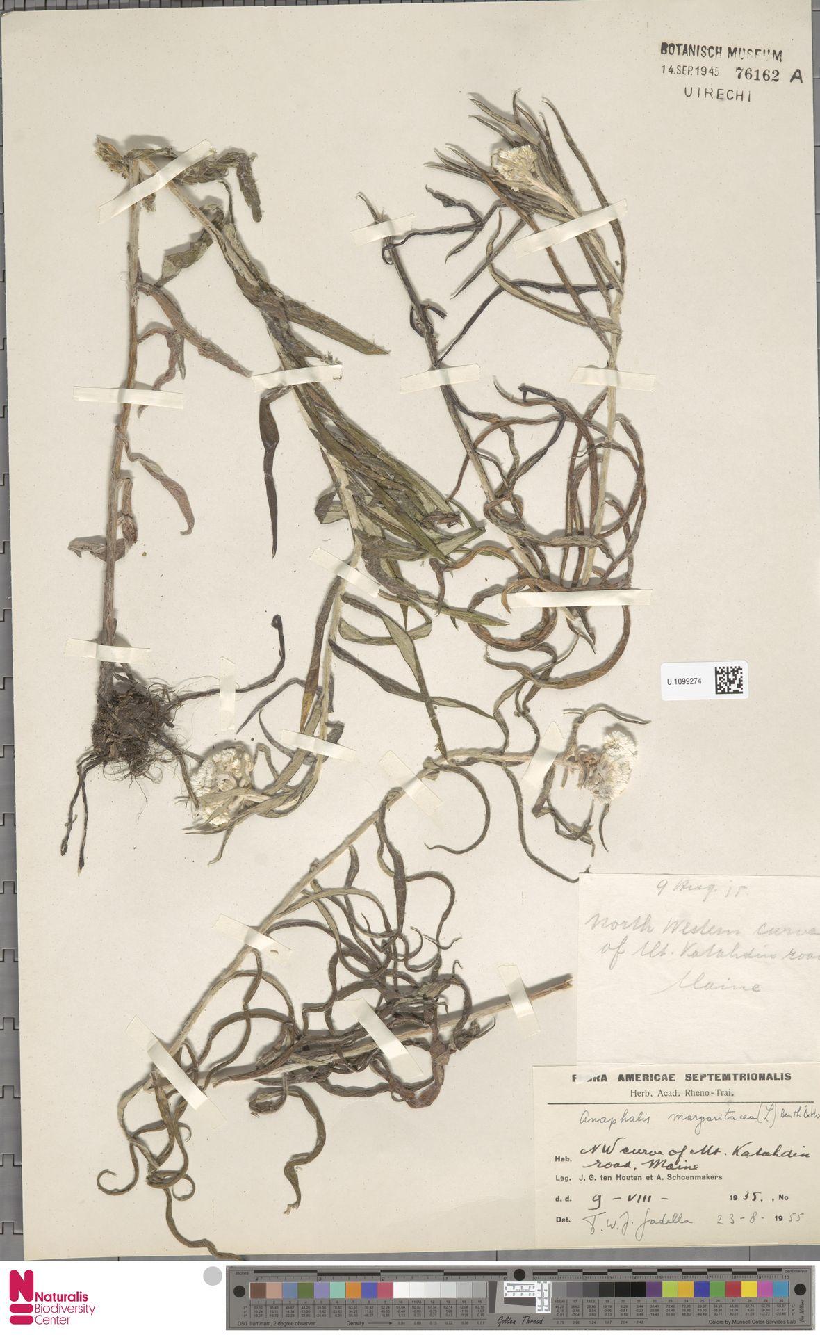 U.1099274   Anaphalis margaritacea (L.) Benth. & Hook.f.