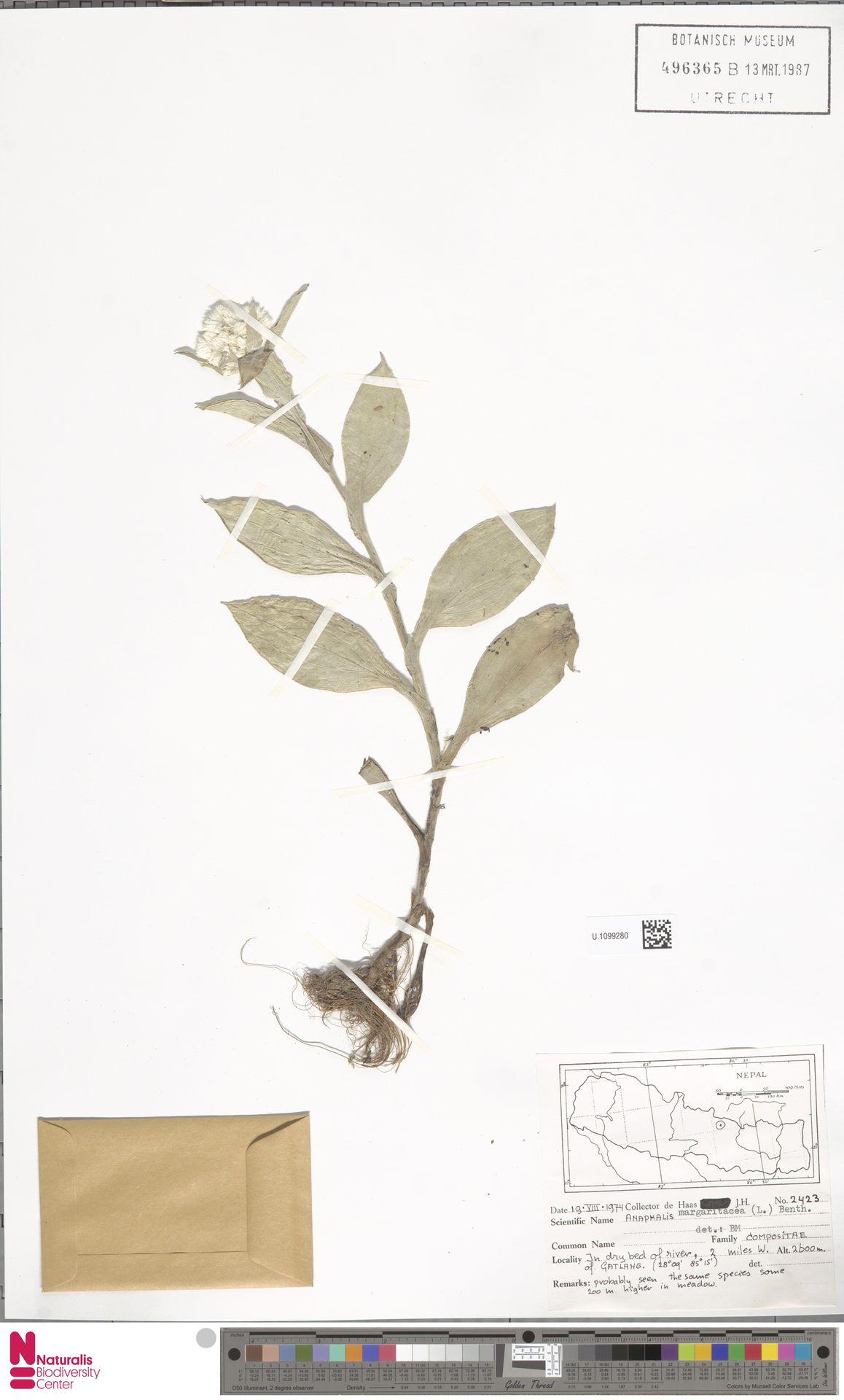 U.1099280 | Anaphalis margaritacea (L.) Benth. & Hook.f.